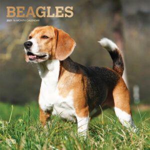 Beagles Kalender 2021