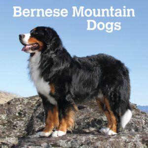 Bernese Mountain Dogs Kalender 2021